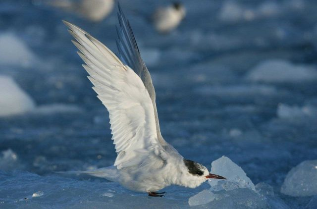 Juvenile Arctic tern (Sterna paradisaea) Picture