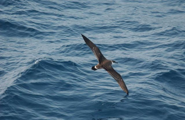 Greater shearwater (Puffinus gravis) in flight Picture