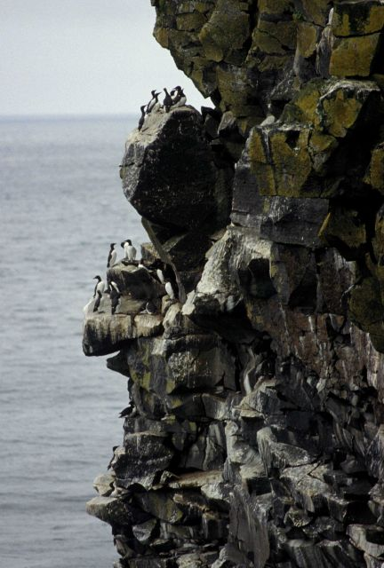 Common murres on a cliff Picture