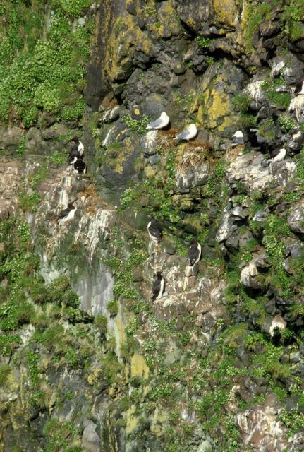 Common murre and seagulls nesting on cliff Picture