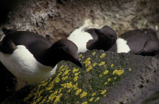 Common murre Picture