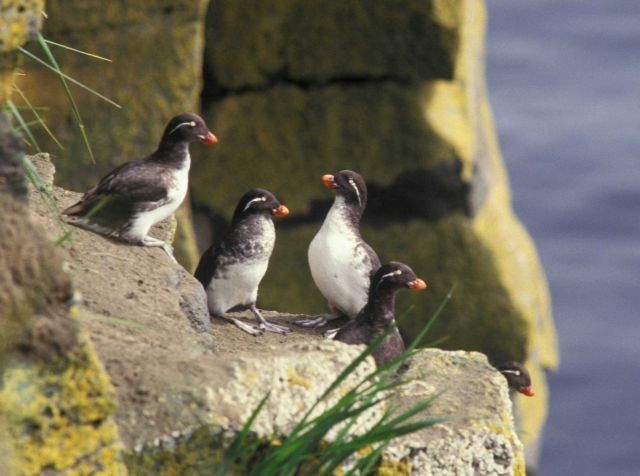 Parakeet auklets Picture