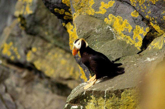 A tufted puffin Picture