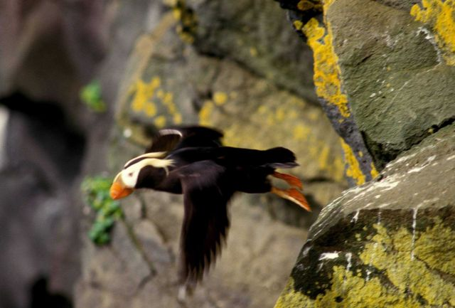 A tufted puffin in flight Picture