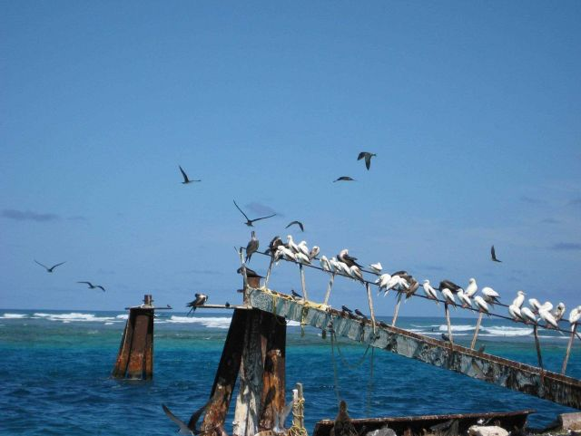 Mostly red-footed boobies on railing while terns fly about. Picture