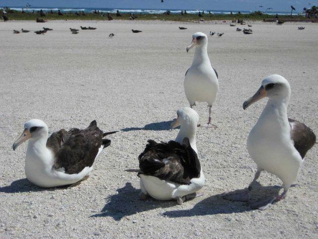 Laysan albatross Picture
