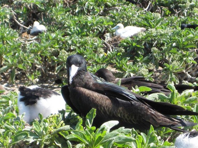 Frigate bird with chick Picture