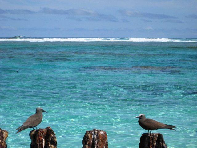 Noddy terns Picture