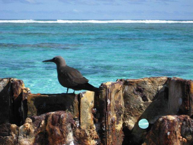 A noddy tern Picture
