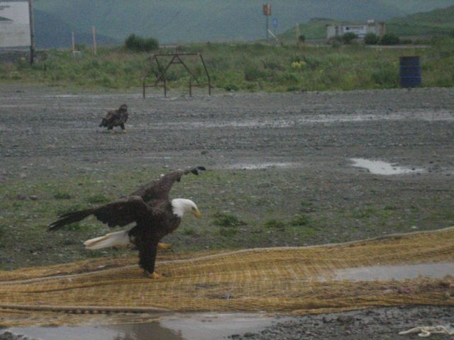 Noble eagles picking for garbage on fishnets. Picture