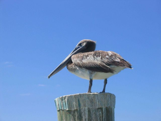 Pelican. Picture