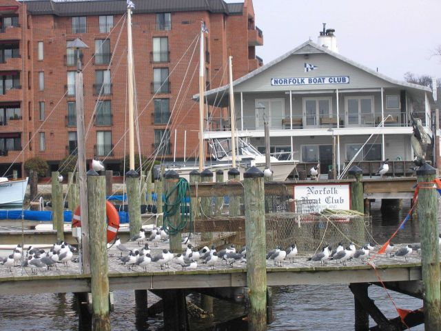 Laughing gulls at the Norfolk Boat Club. Picture