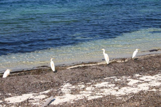 Egrets looking for dinner. Picture