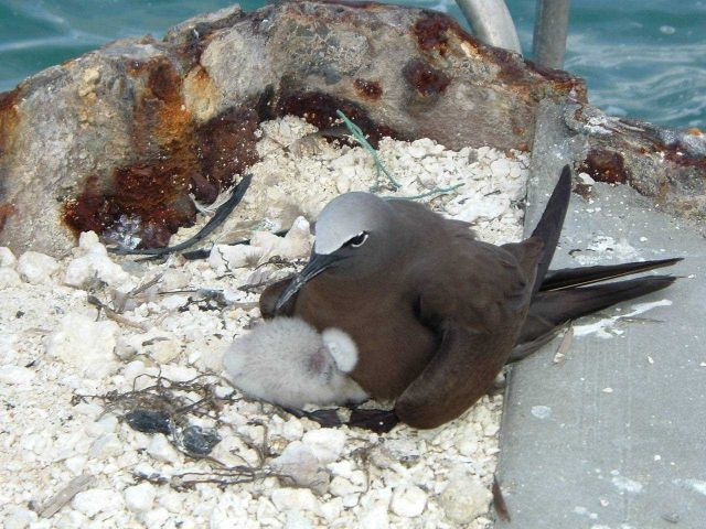 Noddy tern and chick. Picture