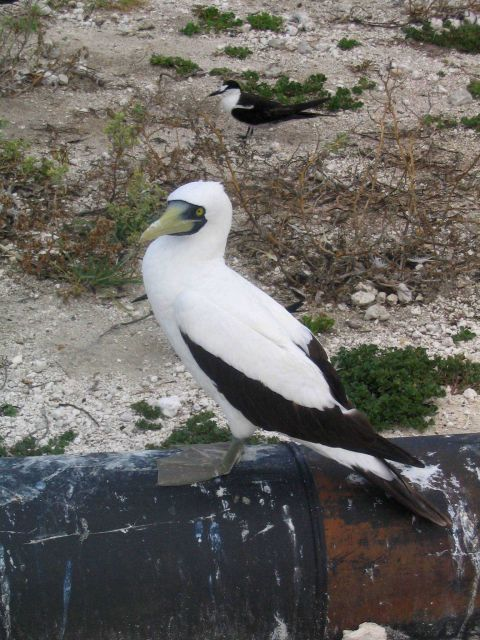Masked booby. Picture