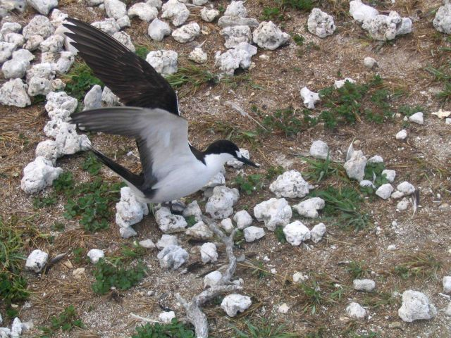 Sooty tern (Sterna fuscata). Picture