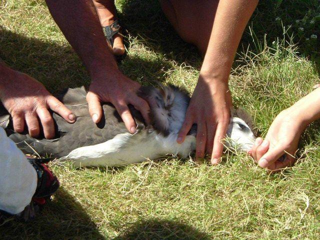 Banding albatross on Kure. Picture