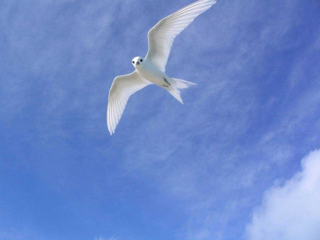 Fairy tern (Gygis alba). Picture