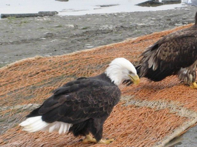 Bald eagle looking for pickings from fish net. Picture