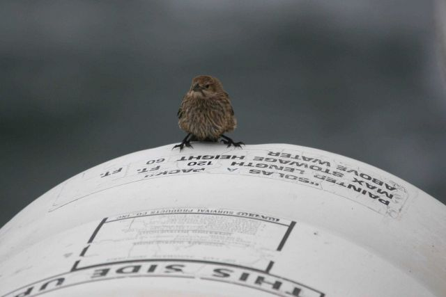 A small land bird checking out a life raft on the NOAA Ship DAVID STARR JORDAN just in case. Picture