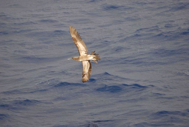Booby in flight. Picture