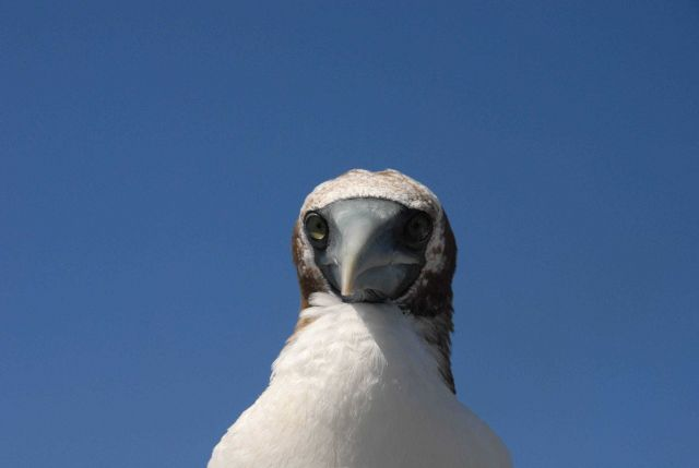Booby up close and personal. Picture