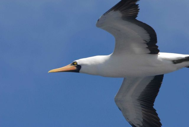 Booby in flight up close. Picture