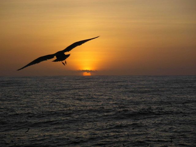 A sea bird observed flying towards the sunset during 2004 Pacifc Whiting Fishery survey. Picture