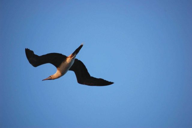 Red-footed booby in flight. Picture