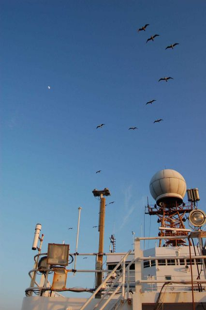 A contingent of red-footed boobies keeping pace with the NOAA Ship Ronald H Picture