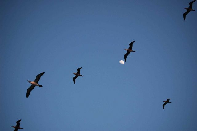 Red-footed boobies and a half-moon. Picture