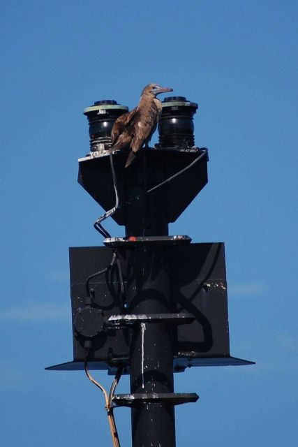 Red-footed booby perched on a navigation light. Picture