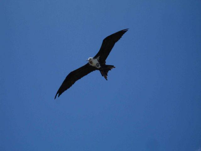 Frigate bird in flight Picture