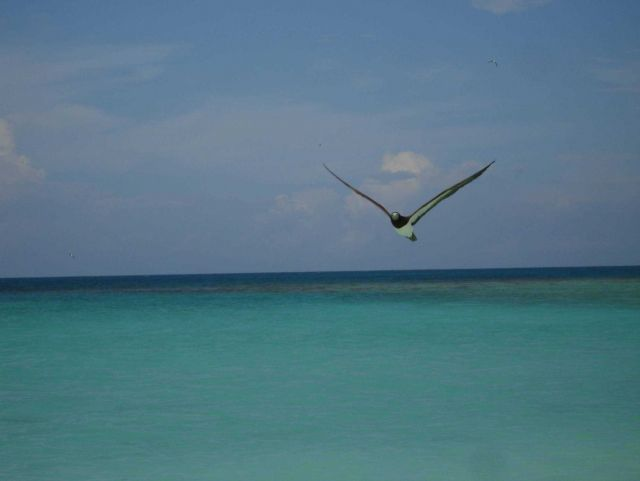Booby in flight Picture