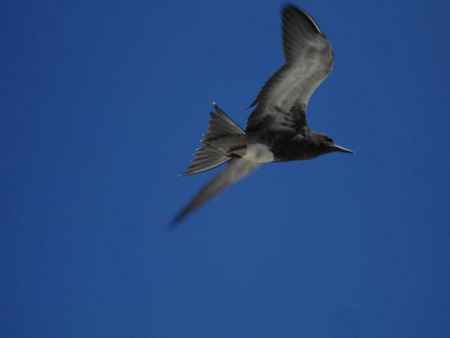 Sooty tern in flight Picture