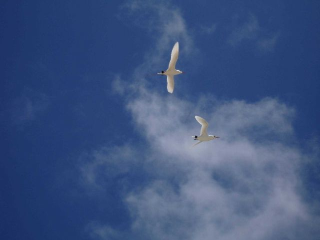 Red-tailed tropicbirds in flight Picture