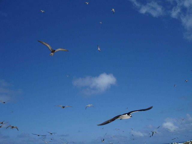 Sooty terns in flight Picture