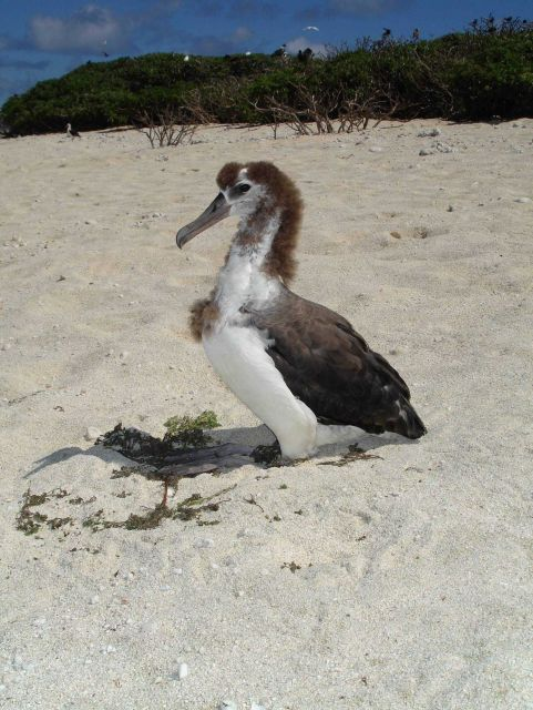 Laysan albatross chick Picture