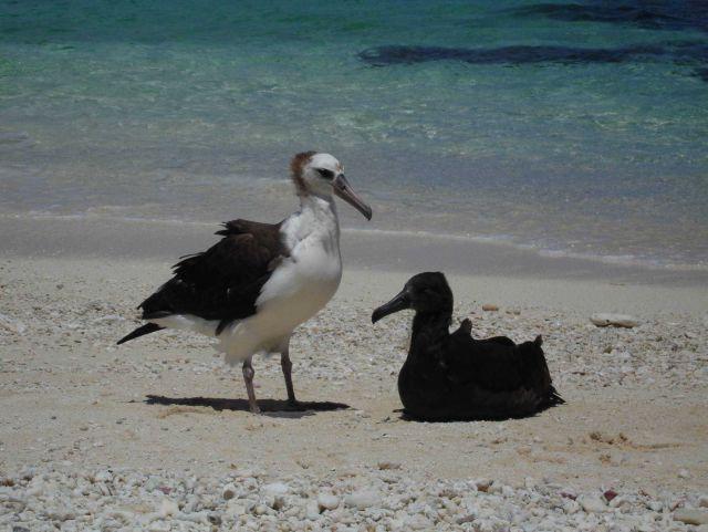 Laysan albatross chicks Picture
