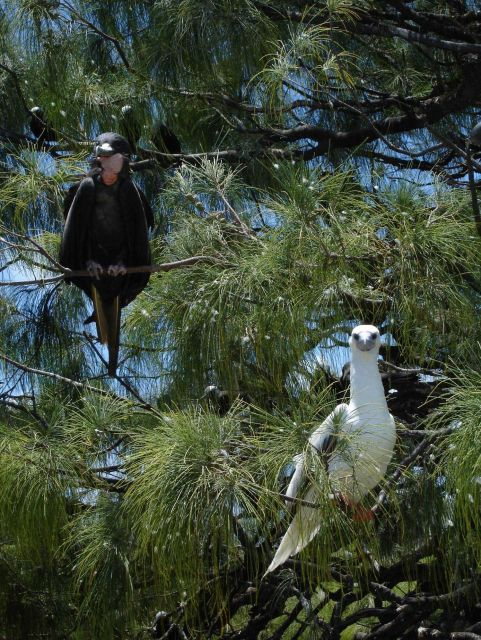 Male great frigatebird left, red-footed booby right. Picture