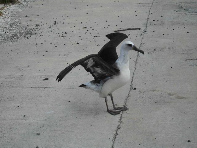 An albatross preparing for takeoff on the Midway runway Picture
