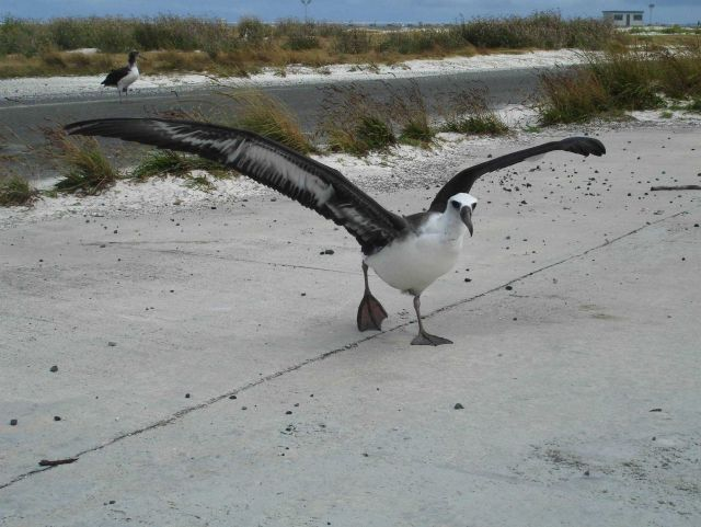 An albatross taking off from the Midway runway Picture