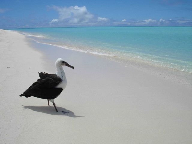 A Laysan albatross contemplating the ocean Picture