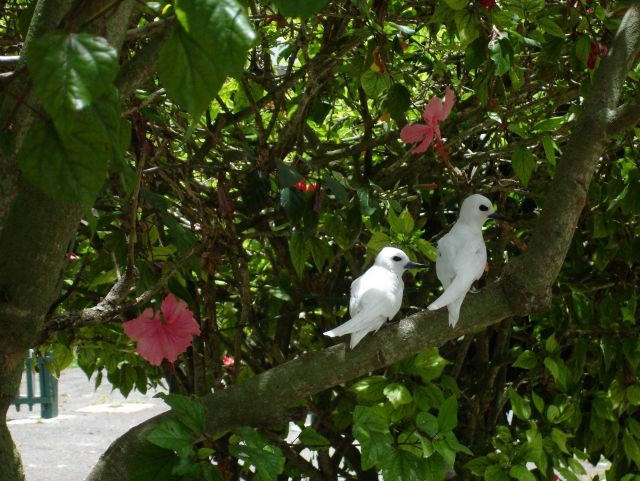 White fairy terns Picture