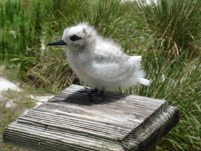 A white tern chick, hardly indicative of the beautiful bird that it would become Picture