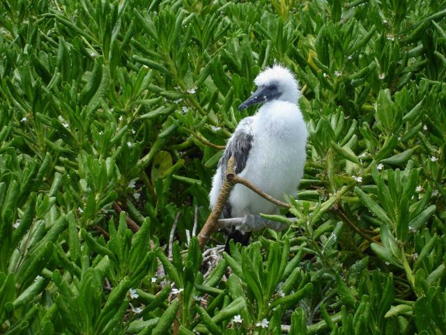Red-footed booby chick Picture