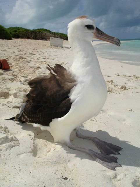 Albatross chick on the beach Picture