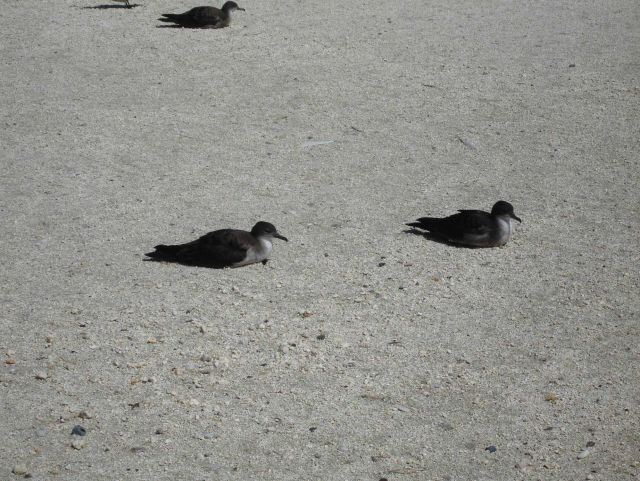 Wedge-tailed shearwaters Picture