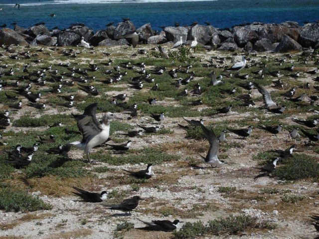 An albatross, sooty terns, and boobies Picture