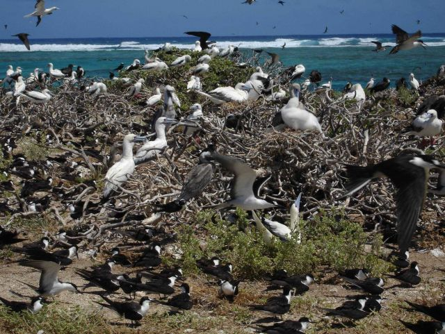 Red-footed boobies and sooty terns Picture